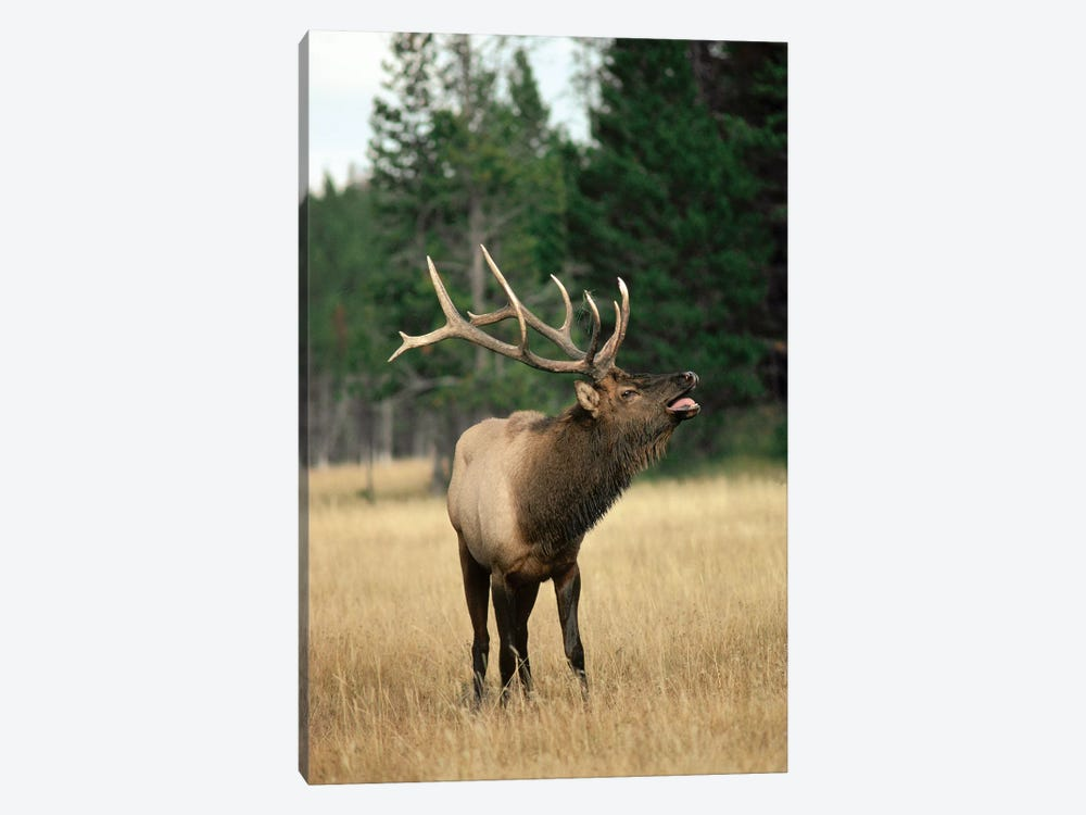 Elk Male Bugling During Rut In The Fall, Yellowstone National Park, Wyoming by Michael Quinton 1-piece Canvas Art Print