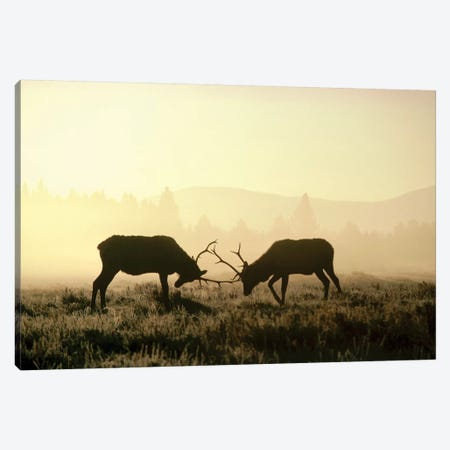 Elk Two Males Sparring In The Fall, Yellowstone National Park, Wyoming Canvas Print #MQU11} by Michael Quinton Canvas Artwork