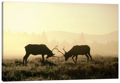 Elk Two Males Sparring In The Fall, Yellowstone National Park, Wyoming Canvas Art Print