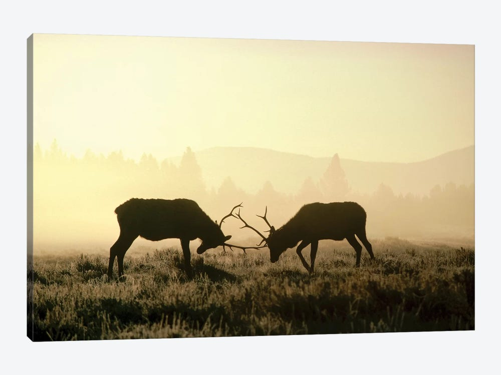 Elk Two Males Sparring In The Fall, Yellowstone National Park, Wyoming by Michael Quinton 1-piece Canvas Artwork