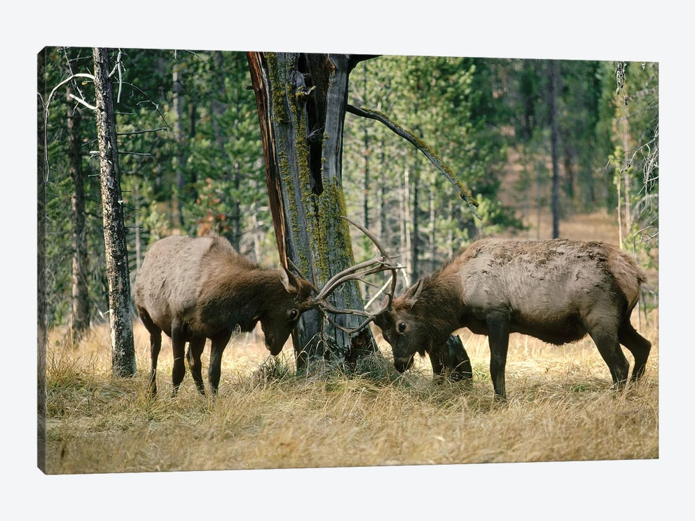 Elk Two Males Sparring Near A Lodgepole Pine Stump, Yellowstone National Park, Wyoming by Michael Quinton 1-piece Canvas Print