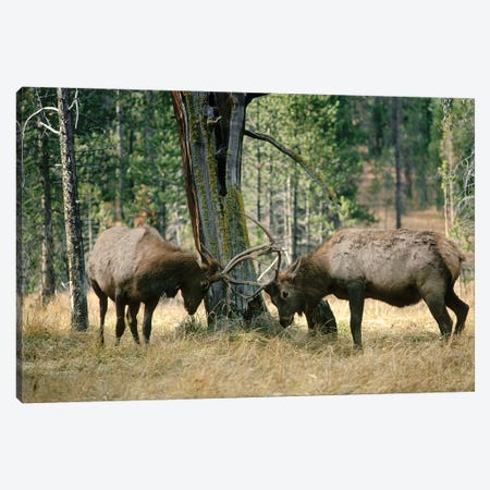 Elk Two Males Sparring Near A Lodgepole Pine Stump, Yellowstone National Park, Wyoming Canvas Print #MQU12} by Michael Quinton Canvas Art
