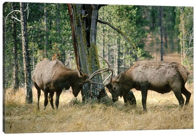 Elk Two Males Sparring Near A Lodgepole Pine Stump, Yellowstone National Park, Wyoming Canvas Art Print