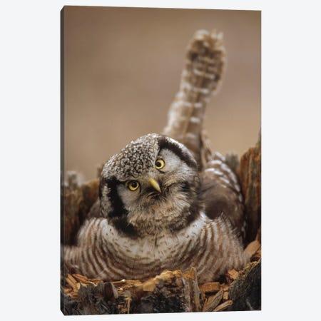 Northern Hawk Owl Incubating Eggs On Nest Built In Top Of Snag, Alaska Canvas Print #MQU14} by Michael Quinton Canvas Art Print