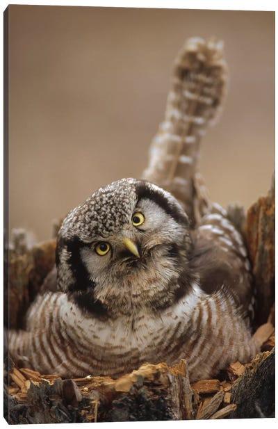 Northern Hawk Owl Incubating Eggs On Nest Built In Top Of Snag, Alaska Canvas Art Print