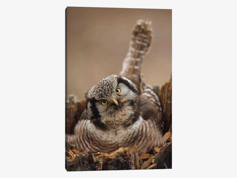 Northern Hawk Owl Incubating Eggs On Nest Built In Top Of Snag, Alaska by Michael Quinton 1-piece Canvas Print