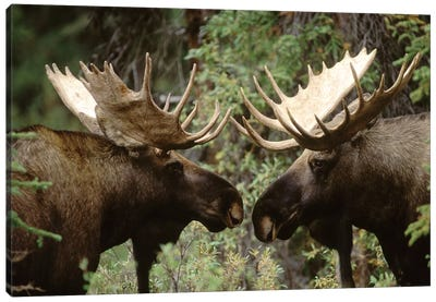 Alaska Moose Pair Of Males Confronting Each Other In The Fall, Alaska Canvas Art Print