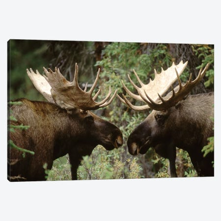Alaska Moose Pair Of Males Confronting Each Other In The Fall, Alaska 3-Piece Canvas #MQU2} by Michael Quinton Art Print