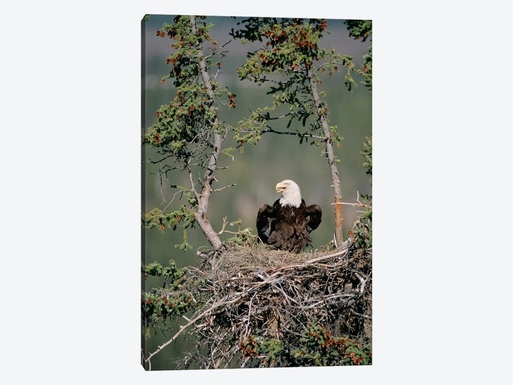 Bald Eagle Calling On Nest, Alaska 1-piece Art Print