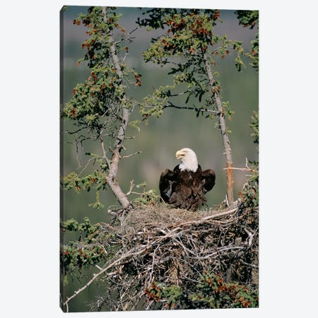 Bald Eagle Calling On Nest, Alaska Canvas Print #MQU4} by Michael Quinton Canvas Art