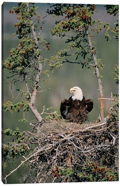 Bald Eagle Calling On Nest, Alaska Canvas Art Print