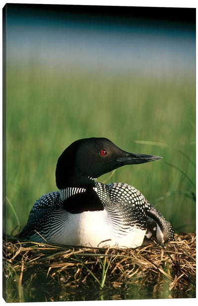 Common Loon Parent On Nest With One Day Old Chick In The Summer, Wyoming Canvas Art Print