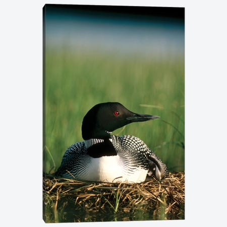 Common Loon Parent On Nest With One Day Old Chick In The Summer, Wyoming Canvas Print #MQU9} by Michael Quinton Canvas Print