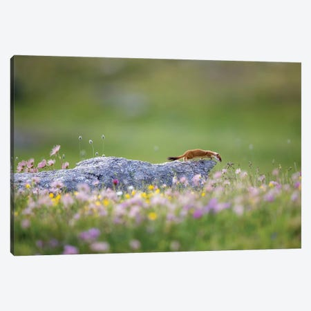 Ermine On Patrol Canvas Print #MRD5} by Marco Redaelli Art Print