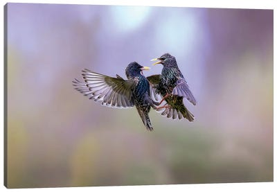The Dance Of The Starlings Canvas Art Print