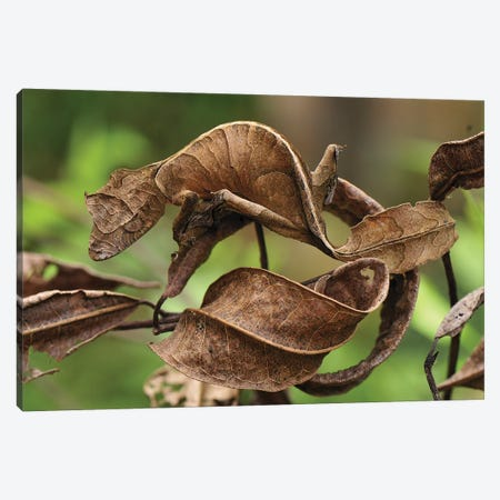 Fantastic Leaf-Tail Gecko Mimicking Leaves, Andasibe-Mantadia National Park, Madagascar Canvas Print #MRN4} by Thomas Marent Art Print