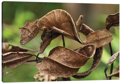 Fantastic Leaf-Tail Gecko Mimicking Leaves, Andasibe-Mantadia National Park, Madagascar Canvas Art Print