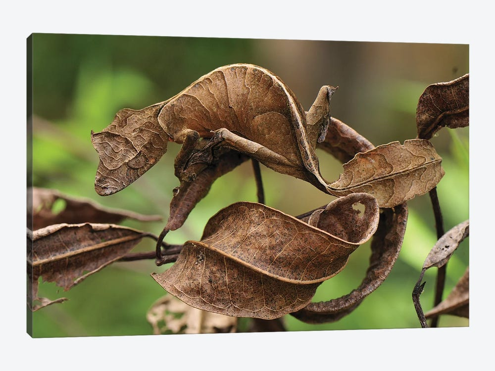Fantastic Leaf-Tail Gecko Mimicking Leaves, Andasibe-Mantadia National Park, Madagascar by Thomas Marent 1-piece Canvas Artwork