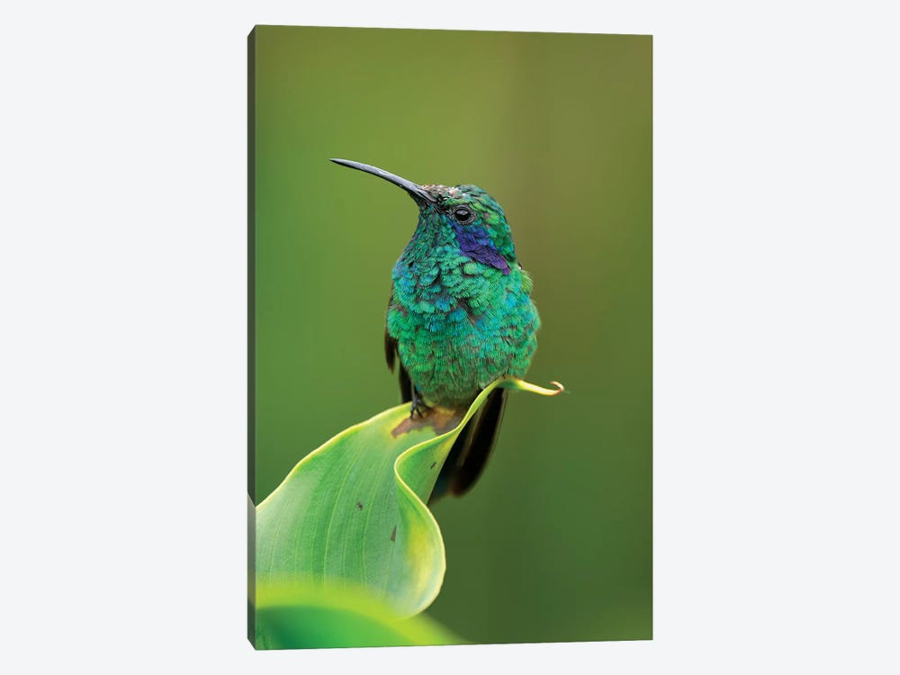 Green Violet-Ear Hummingbird Perched On Leaf, Costa Rica by Thomas Marent 1-piece Canvas Print