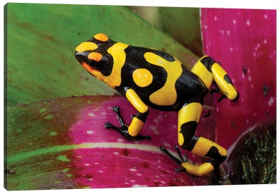 Harlequin Poison Dart Frog On Bromeliad, Cauca, Colombia Canvas Art Print