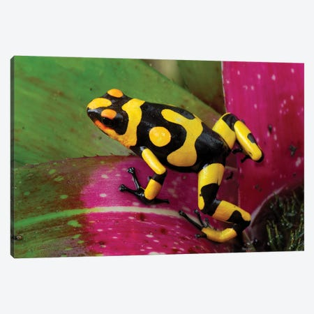 Harlequin Poison Dart Frog On Bromeliad, Cauca, Colombia 3-Piece Canvas #MRN6} by Thomas Marent Canvas Print