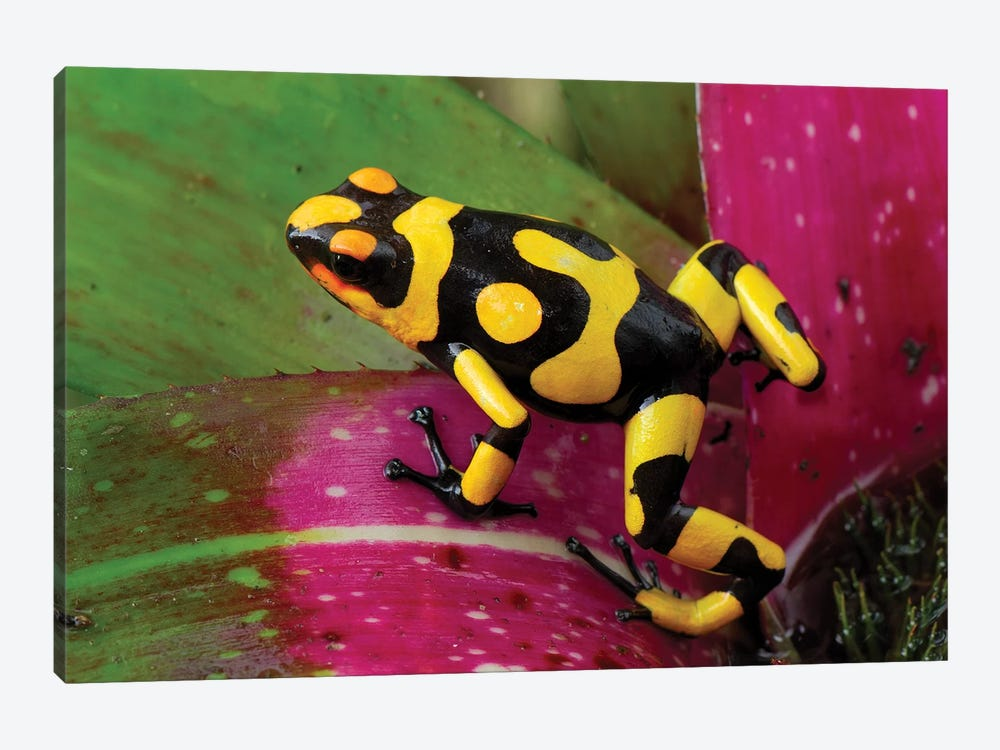 Harlequin Poison Dart Frog On Bromeliad, Cauca, Colombia by Thomas Marent 1-piece Canvas Artwork
