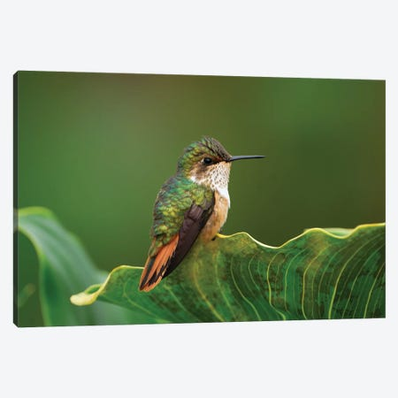 Scintillant Hummingbird Female, Costa Rica Canvas Print #MRN8} by Thomas Marent Canvas Artwork