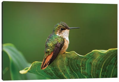 Scintillant Hummingbird Female, Costa Rica Canvas Art Print
