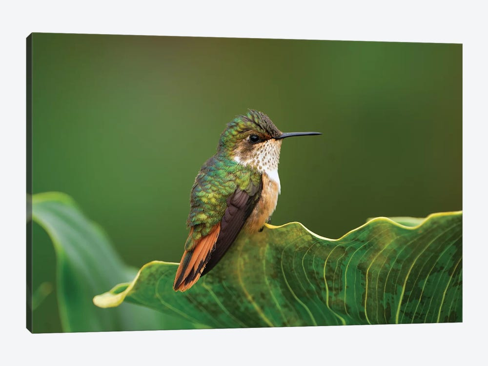 Scintillant Hummingbird Female, Costa Rica by Thomas Marent 1-piece Canvas Art