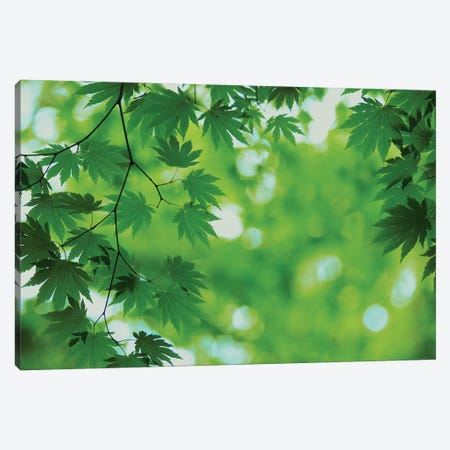 Full-Moon Maple Leaves, Hokkaido, Japan Canvas Print #MSM1} by Masami Goto Canvas Art