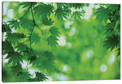 Full-Moon Maple Leaves, Hokkaido, Japan Canvas Art Print