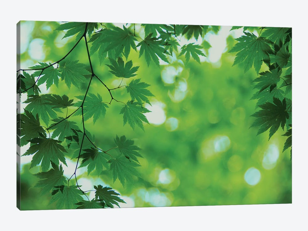 Full-Moon Maple Leaves, Hokkaido, Japan 1-piece Canvas Art Print