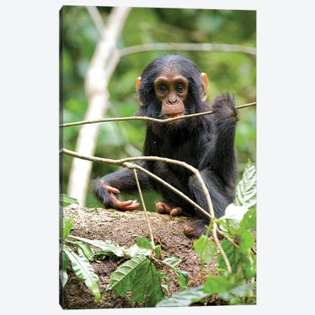 Africa, Uganda, Kibale National Park. A playful and curious infant chimpanzee. Canvas Print #MSR1} by Kristin Mosher Canvas Wall Art