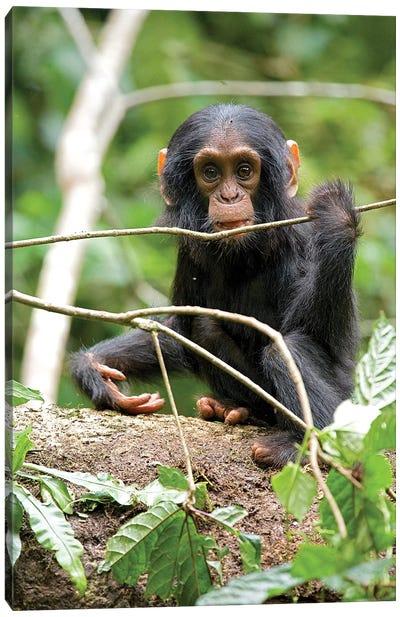 Africa, Uganda, Kibale National Park. A playful and curious infant chimpanzee. Canvas Art Print