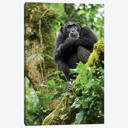 Africa, Uganda, Kibale National Park. A relaxed female chimpanzee sits aloft in a mossy tree. Canvas Print #MSR2} by Kristin Mosher Canvas Artwork
