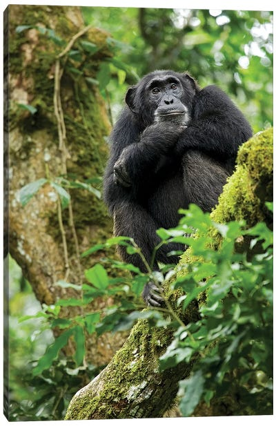 Africa, Uganda, Kibale National Park. A relaxed female chimpanzee sits aloft in a mossy tree. Canvas Art Print