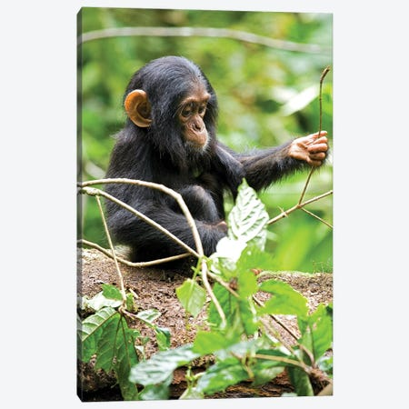 Africa, Uganda, Kibale National Park. An infant chimpanzee plays with a stick. Canvas Print #MSR3} by Kristin Mosher Canvas Artwork