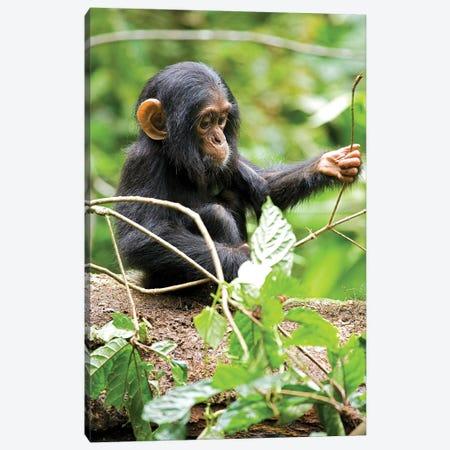 Africa, Uganda, Kibale National Park. An infant chimpanzee plays with a stick. Canvas Print #MSR3} by Kristin Mosher Canvas Artwork