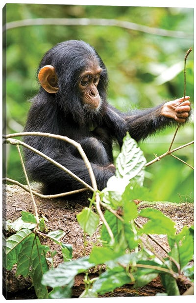 Africa, Uganda, Kibale National Park. An infant chimpanzee plays with a stick. Canvas Art Print