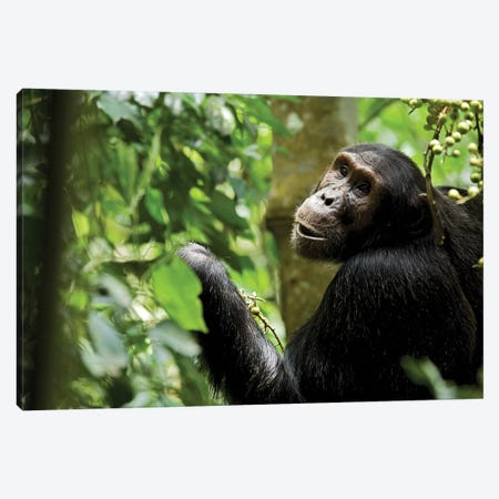 Africa, Uganda, Kibale National Park. Young adult male chimpanzee eating figs. Canvas Print #MSR4} by Kristin Mosher Art Print