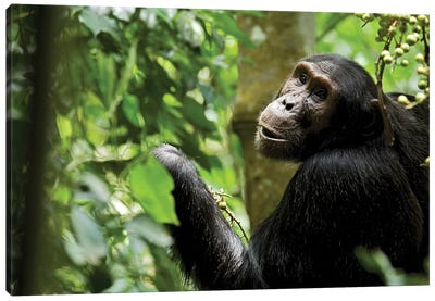 Africa, Uganda, Kibale National Park. Young adult male chimpanzee eating figs. Canvas Art Print