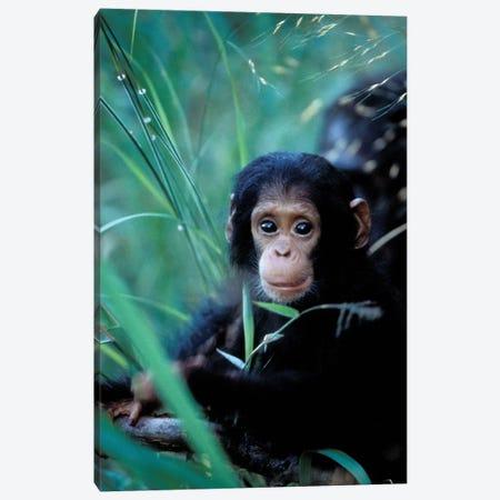Chimpanzees At Play, Africa, Tanzania, Gombe Np, Canvas Print #MSR5} by Kristin Mosher Art Print