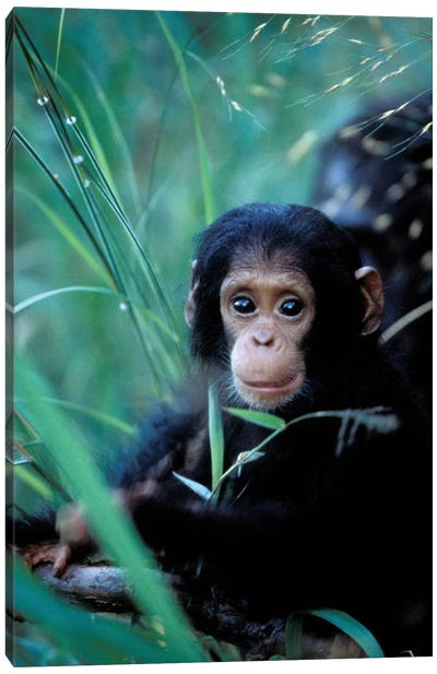 Chimpanzees At Play, Africa, Tanzania, Gombe Np, Canvas Art Print