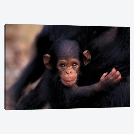 Flirt, A 3-Week-Old Chimpanzee, Africa, Tanzania, Gombe Nat'L Park Canvas Print #MSR6} by Kristin Mosher Art Print
