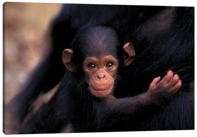 Flirt, A 3-Week-Old Chimpanzee, Africa, Tanzania, Gombe Nat'L Park Canvas Art Print