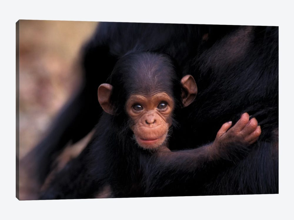 Flirt, A 3-Week-Old Chimpanzee, Africa, Tanzania, Gombe Nat'L Park by Kristin Mosher 1-piece Canvas Art Print