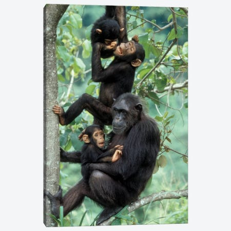 Young Male Chimpanzees Play Above Mother And Infant, Africa, Tanzania, Gombe National Park Canvas Print #MSR7} by Kristin Mosher Canvas Art Print