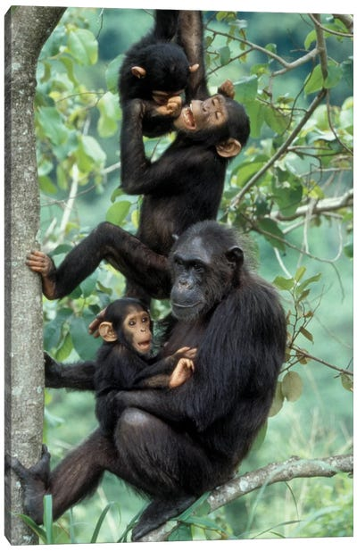 Young Male Chimpanzees Play Above Mother And Infant, Africa, Tanzania, Gombe National Park Canvas Art Print