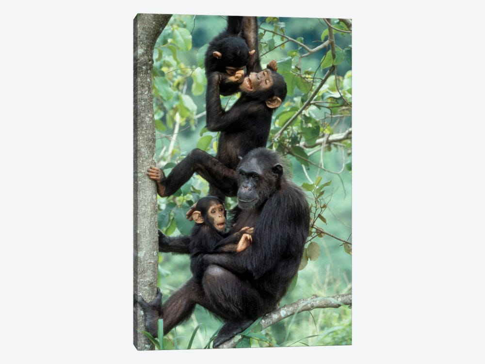 Young Male Chimpanzees Play Above Mother And Infant, Africa, Tanzania, Gombe National Park by Kristin Mosher 1-piece Canvas Artwork