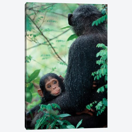 Infant Chimpanzee With Mother Sit Covered In Rain Drops After A Storm, Africa, East Africa, Tanzania, Gombe National Park. Canvas Print #MSR8} by Kristin Mosher Canvas Wall Art